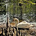 Swan Lake Watercolor by Jeff McJunkin