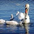 Swan Mom And Cyngets by Cheryl Cencich