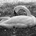 Swan Nap by John Holfinger