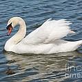 Swan On Blue Waves by Carol Groenen