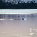 Swan On Lake At Dusk by David Arment