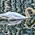 Swan on Lake Eola by Diana Sainz
