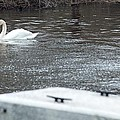Swan On The Water by Linda Kerkau
