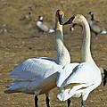 Swan Pair by Dee Carpenter