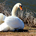Swan Protects Her Eggs by Kathy  White