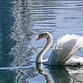 Swan by Steven Sparks