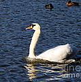 Swan Swim by Brigitte Mueller