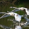 Swan Take-off 2 by Jeremy Hayden