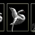 Swan Triptych With Gold Borders by Dale   Ford