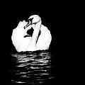 Swan White On Black by Karol Livote
