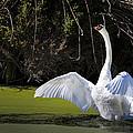 Swan Wings Spread by David Millenheft
