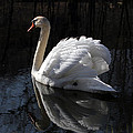 Swan With Reflection  by Eleanor Abramson