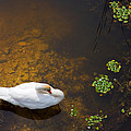 Swan With Sun Reflection On Water. by Jan Brons
