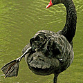Swan Yoga by Rona Black
