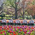 Swanboat Spring by Susan Cole Kelly