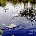 Swan's 3 In A Group. by Richard Morris