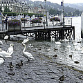 Swans And Ducks In Lake Lucerne In Switzerland by Ashish Agarwal