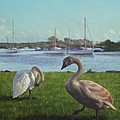 swans at Christchurch harbour by Martin Davey