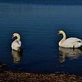 Swans Belle Isle by Misty Johnson