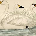 Swans by Beverley R Morris
