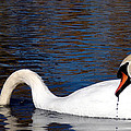 Swans by Cassie Peters