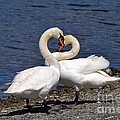 Swans Courting by Louise Heusinkveld