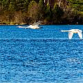 Swans In Flight - Unity Park by Nate Wilson