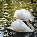 Swans In Love by Kent Brown