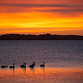 Swans In The Sunrise by Ralf Kaiser