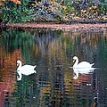 Swans At Betty Allen by Karen Silvestri