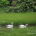 Swans Of Chatham by Michelle Welles