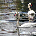 Swans On The Lake - Limited Edition by Cedric Hampton