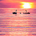 Swans On The Lake by Jon Neidert
