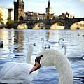 Swans On Vltava River by Jelena Jovanovic