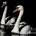 Swans Through The Darkness by Sue Harper
