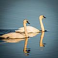Swans by Paul Freidlund