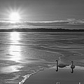 Swans Sunrise Bw by Michael Ver Sprill