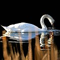 Swan River by Diana Angstadt