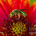 Sweat Bee Collecting Pollen by Anthony Mercieca