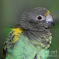 Sweet Baby Meyers Parrot by Smilin Eyes  Treasures
