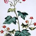 Sweet Canada Raspberry by John Edwards