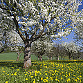 Sweet Cherry Orchard In Full Bloom by Duncan Usher
