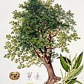 Sweet Chestnut by Johann Kautsky