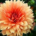 Sweet Dahlia by Christiane Schulze Art And Photography