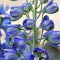 Sweet Delphinium by Carol Groenen
