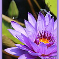 Sweet Dragonfly On Purple Water Lily by Carol Groenen
