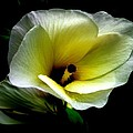Sweet Hibiscus by Ajay Mody