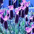 Sweet Lavender by Scott Hill