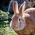 Sweet Little Bunny by Susie Peek