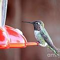 Sweet Little Hummingbird On Feeder by Carol Groenen